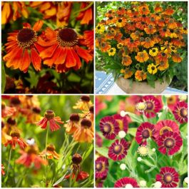 3 x Helenium Plants | Jewel Helenium Collection | 3 x 10.5cm Pot