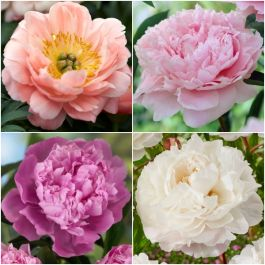 3 x Peony Plants | Prolific and Plentiful Peony Collection | 3 x 2L Pots