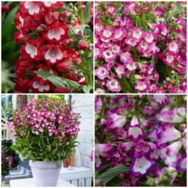 3 x Penstemon 'Polaris' Plants | Pretty Penstemon Collection | 3 x 2L Pots