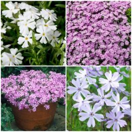 Phlox subulata Fabulous Collection | 3 x 10.5cm Pots