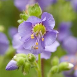 Jacob's Ladder | Polemonium caeruleum 'Bambino Blue' | 10.5cm pot