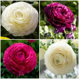 Ranunculus asiaticus Vortex F1 Collection | 3 x 10.5cm Pots