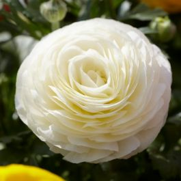 Ranunculus asiaticus Vortex 'F1 White' | 10.5cm Pot