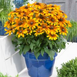 Rudbeckia 'Butterscotch Biscuit' (Summerina Series) | 3L Pot