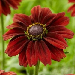 Rudbeckia 'Chocolate SmileyZ' | 3L Pot