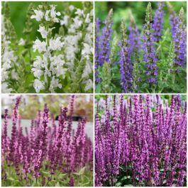 Salvia Sensation Collection | 3 x 10.5cm Pots