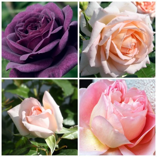 Fragrant Bush Rose Collection | 'Ebb Tide', 'Pink Perfection', & 'Chandos Beauty' | 3 Bare Root Roses