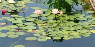 All About Pond Plants