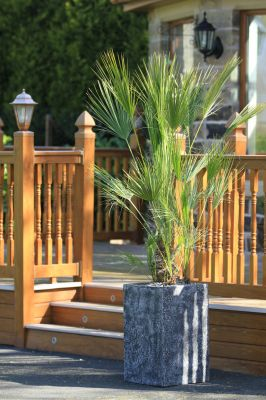 130cm Chamaerops Palm in Tall Square Granite Effect Planter