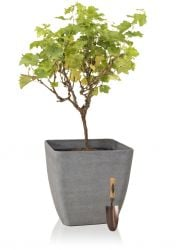 Bonsai Red Grape 30L Pot