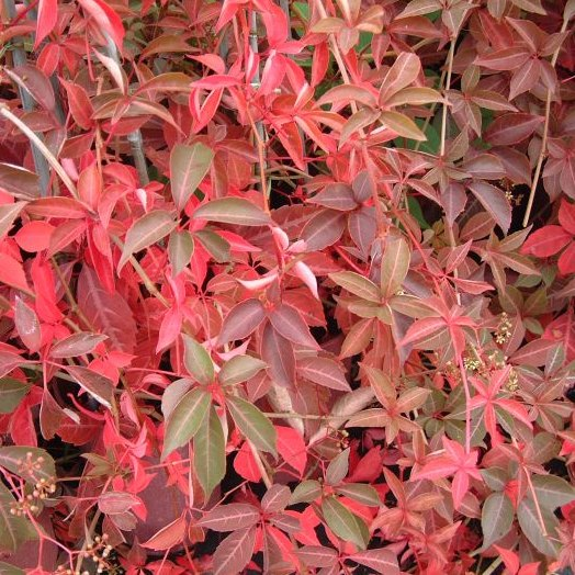 3ft Chinese Virginia Creeper | 2.5L Pot | Parthenocissus Henryana