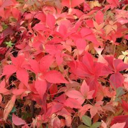 3ft Virginia Creeper | 2.5L Pot | Parthenocissus Quinquefolia