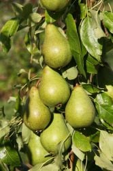 5ft 'Celebration® NUVAR Pear Tree | Quince A Semi Dwarfing Rootstock | Bare Root | By Frank P Matthews™