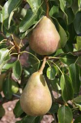 5ft 'Onward' Pear Tree | Quince A Semi Dwarfing Rootstock | Bare Root | By Frank P Matthews™