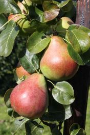 5ft 'Obelisk® Pear Tree | Quince A Semi Dwarfing Rootstock | 12L Pot | By Frank P Matthews™