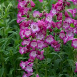 Penstemon F1 Arabesque' Orchid' | Pack of 5 Plug Plants