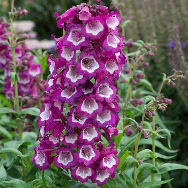 Penstemon F1 Arabesque 'Violet' | Pack of 5 Plug Plants