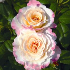 Perfect Harmony Bush Rose - 5.5L Pot