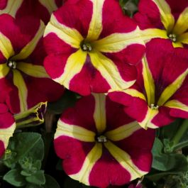 Petunia 'Amore Queen of Hearts' | Pack of 5 Plug Plants