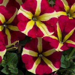 Petunia 'Amore Queen of Hearts' | Pack of 5 X 7cm Plants