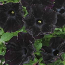 Petunia 'Black Velvet' | Pack of 5 Plug Plants