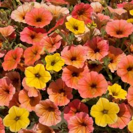 Petunia Cascadia 'Indian Summer' | Pack of 5 Plug Plants