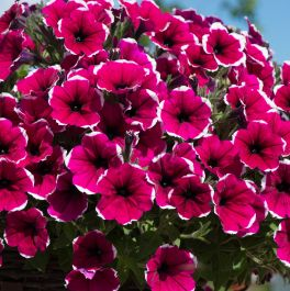 Petunia Cascadia 'Rim Cherry' | Pack of 5 Plug Plants