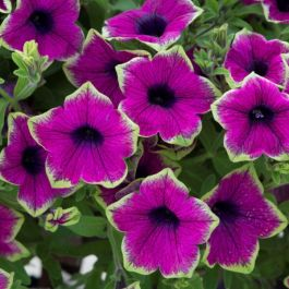 Petunia Designer 'Buzz Purple' | Pack of 5 Plug Plants
