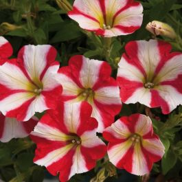 Petunia Designer 'Red Star' | Pack of 15 Plug Plants