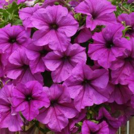 Petunia Fanfare 'Lavender Vein' | Pack of 5 Plug Plants