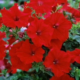 Petunia Fanfare 'Red' | Pack of 15 Plug Plants