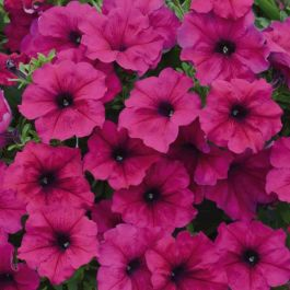 Petunia Fanfare 'Royal Purple' | Pack of 5 Plug Plants
