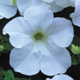 Petunia Fanfare 'White' (P) | Pack of 5 Plug Plants