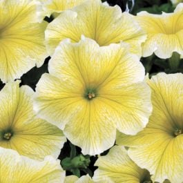 Petunia Fanfare 'Yellow' (P) | Pack of 5 Plug Plants