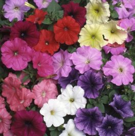 Petunia 'Fantasia' Collection | A Tray of 40 Cell Plug Plants
