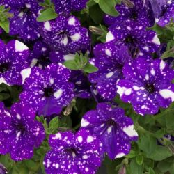 Petunia 'Night Sky' | Pack of 5 Plug Plants