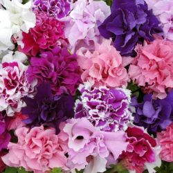 Petunia 'Pirouette' Collection | A Tray of 40 Cell Plug Plants