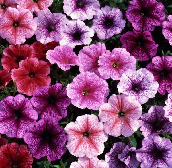 Petunia 'Reflections' Collection | A Tray of 40 Cell Plug Plants