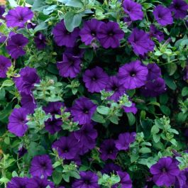 Petunia Surfinia® 'Blue' | Pack of 5 X 7cm Plants