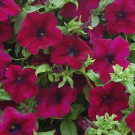 Petunia Surfinia® 'Burgundy' | Pack of 5 X 7cm Plants