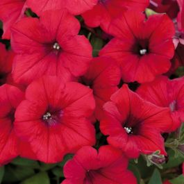 Petunia Surfinia® 'Deep Red' | Pack of 5 X 7cm Plants