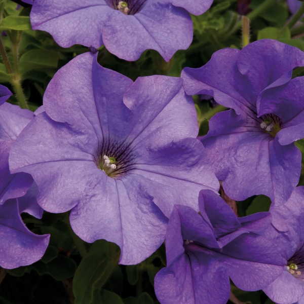 Petunia Surfinia® 'Heavenly Blue' | Pack of 5 Plug Plants