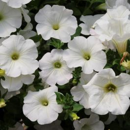Petunia Surfinia® 'Snow' | Pack of 5 Plug Plants