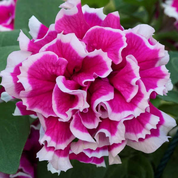 Petunia Tumbelina™ 'Anna' | Pack of 15 Plug Plants