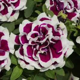Petunia Tumbelina™ 'Bella' | Pack of 5 Plug Plants