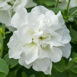 Petunia Tumbelina™ 'Diana' | Pack of 5 Plug Plants