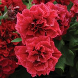 Petunia Tumbelina™ 'Inga' | Pack of 15 Plug Plants