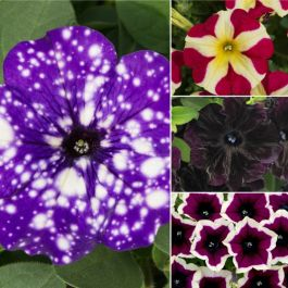 Speciality Petunia Collection | 5 Plug Plants
