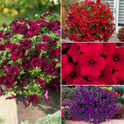 Surfinia® Petunia Collection | 5 Plug Plants