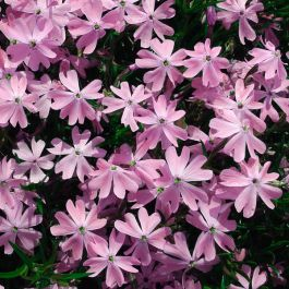Phlox 'Emerald Pink' | Pack of 5 Plug Plants